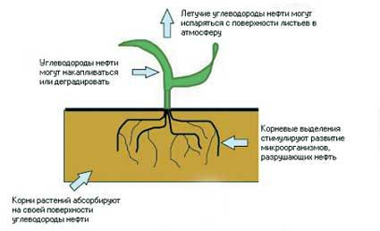 Инженерно-экологические изыскания - фиторемедиации почвы, загрязненной нефтью или нефтепродуктами